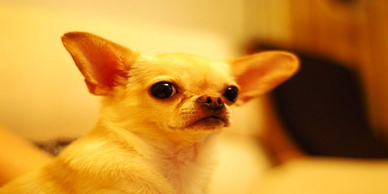 chihuahua-dog-485382-compressed