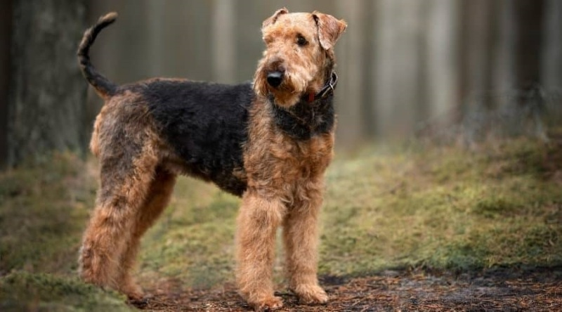 Airedale Terrier snake