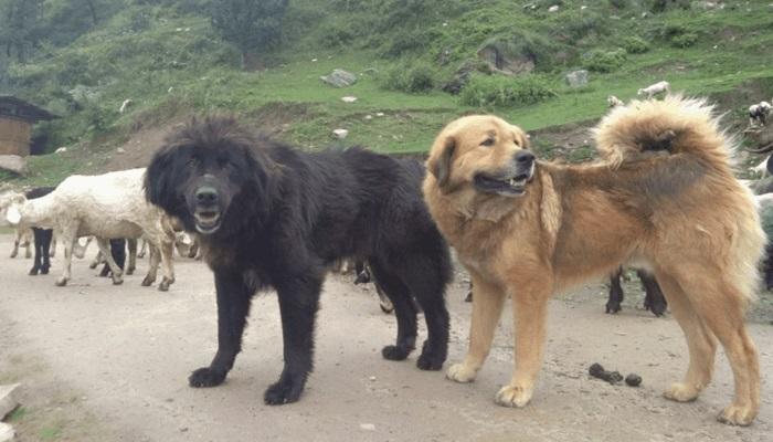 Bakharwal dog India
