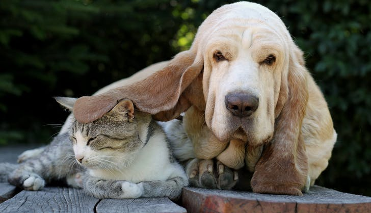 Basset hound and cat