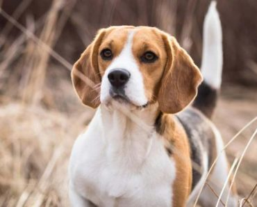 Beagle Dog Price in Lucknow