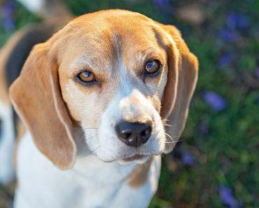 Beagle Dog Price in Bhopal