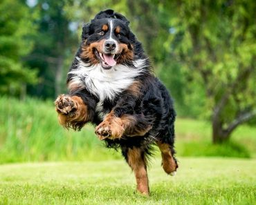 The Bernese Mountain Dog Price In India