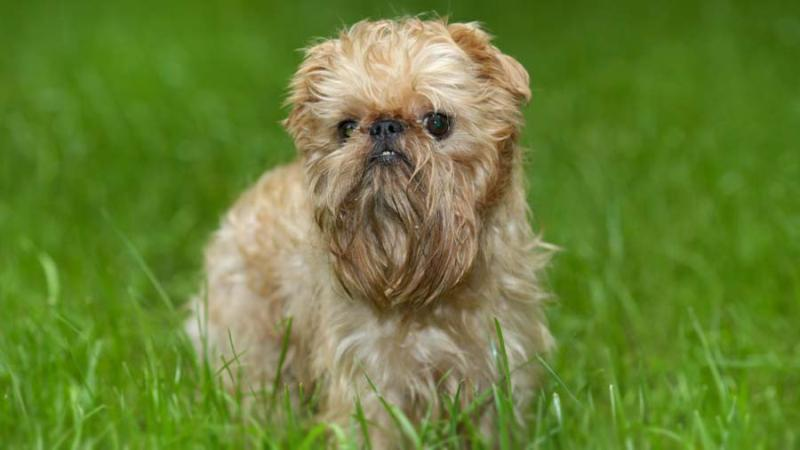 Brussels Griffon small