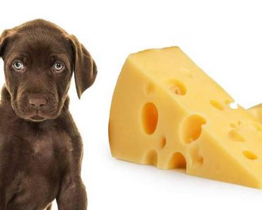 Can Dogs Eat Cheddar Cheese?