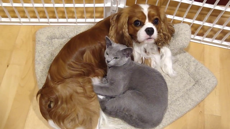 Charles Spaniel and cat
