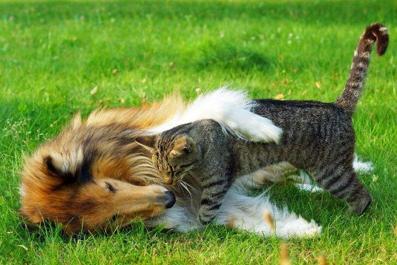 Collie and cat
