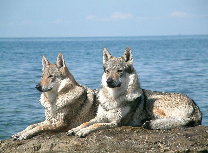 Czechoslovakian Wolfdogs Norway