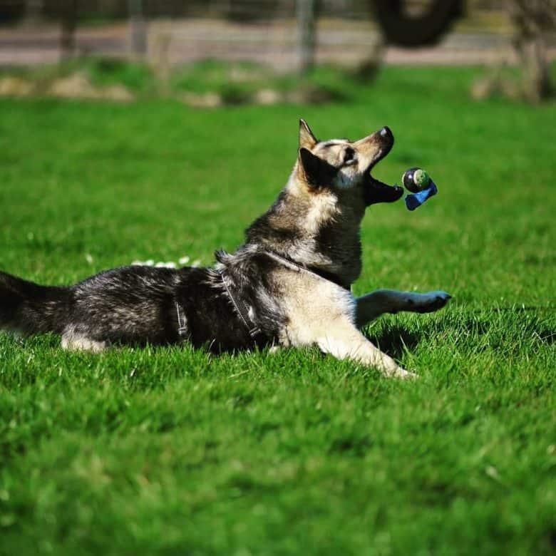 GSD husky training