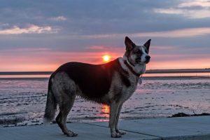 German Shepherd Husky Mix: History, Characteristics and Temperament
