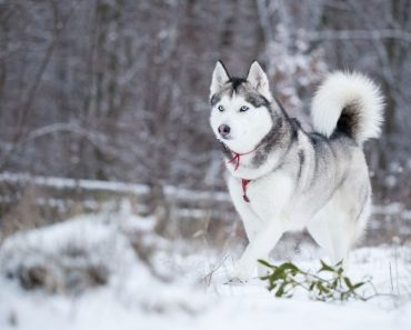 Siberian Husky Dog Price In India