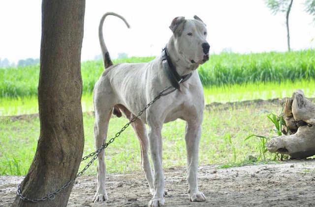 Indian Mastiff India