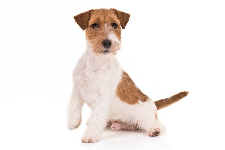 Jack Russel Terrier snake