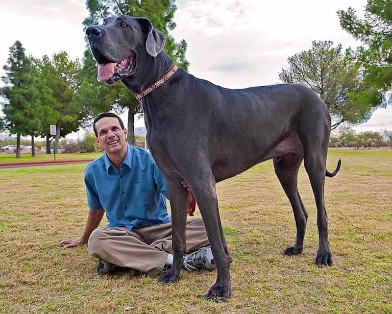 Largest dog breeds cover