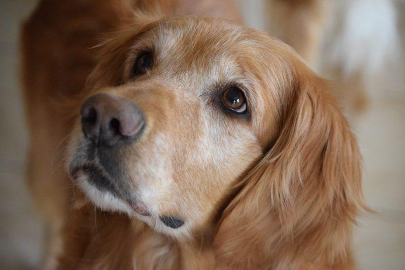 Non-aggressive dog breed cover