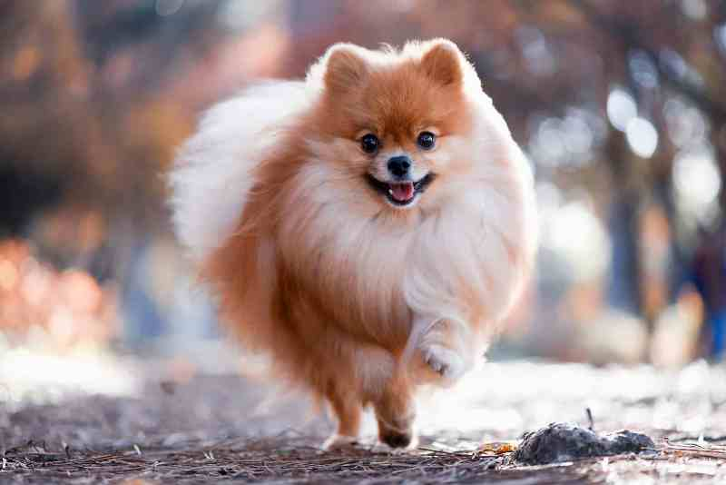 Pomeranian small
