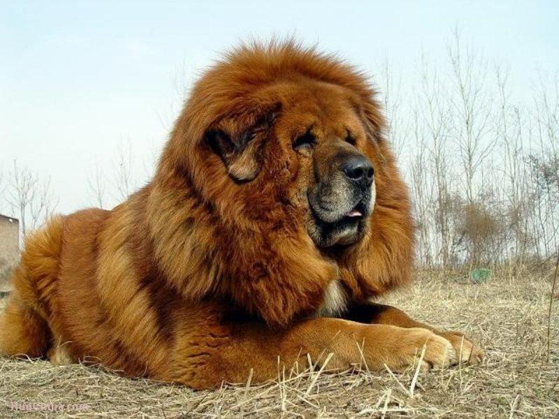 Tibetian Mastiff germany