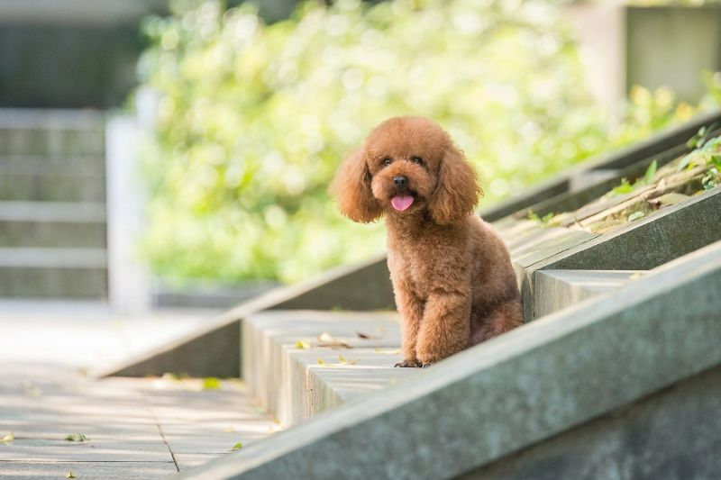 Toy Poodle small