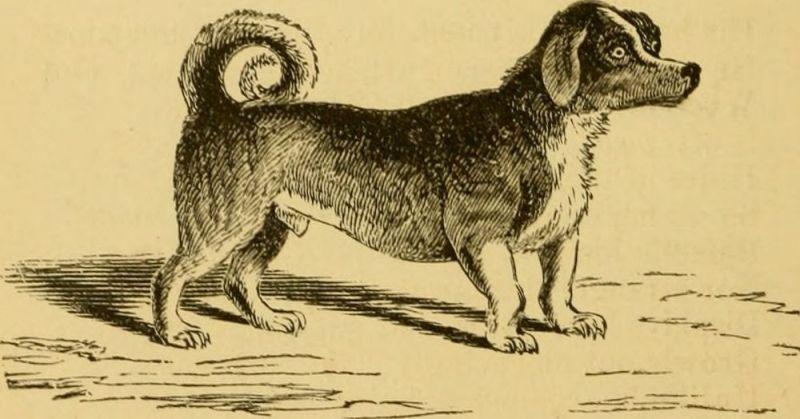 Turnspit Dog extinct