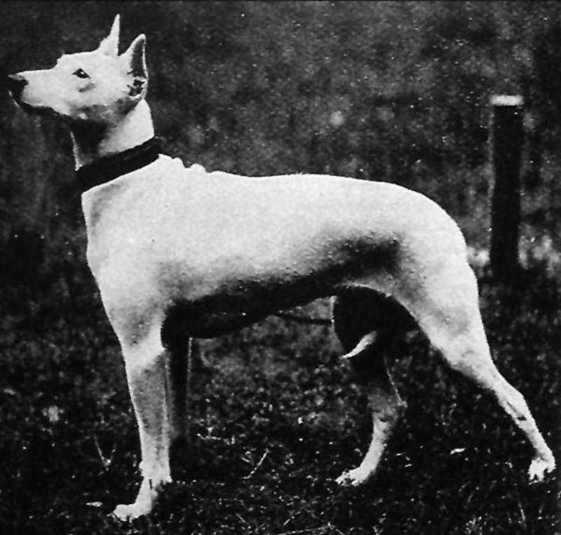 White English terrier extinct